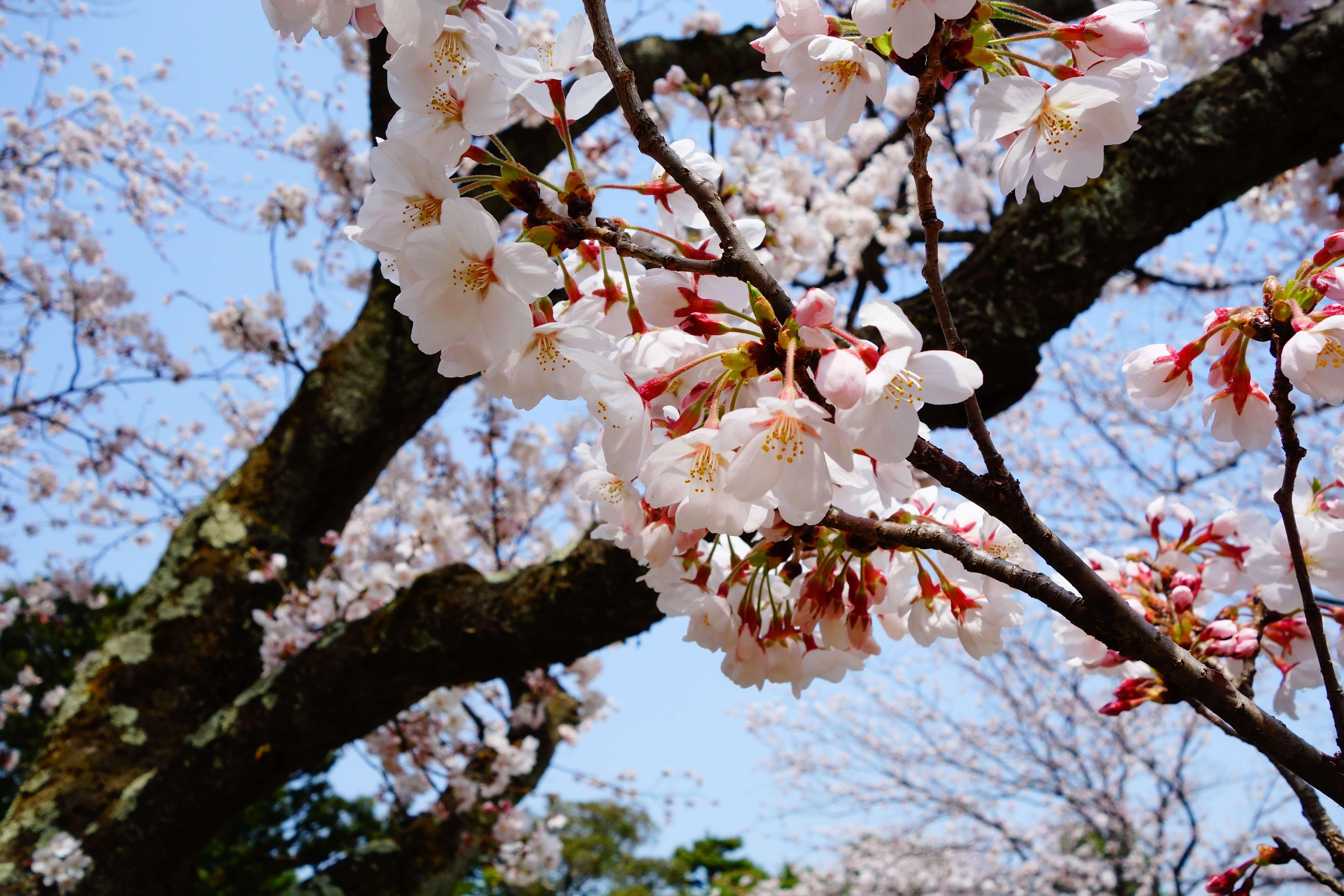芦城公園|小松市にある石川県有数の桜の名所で歴史を感じる