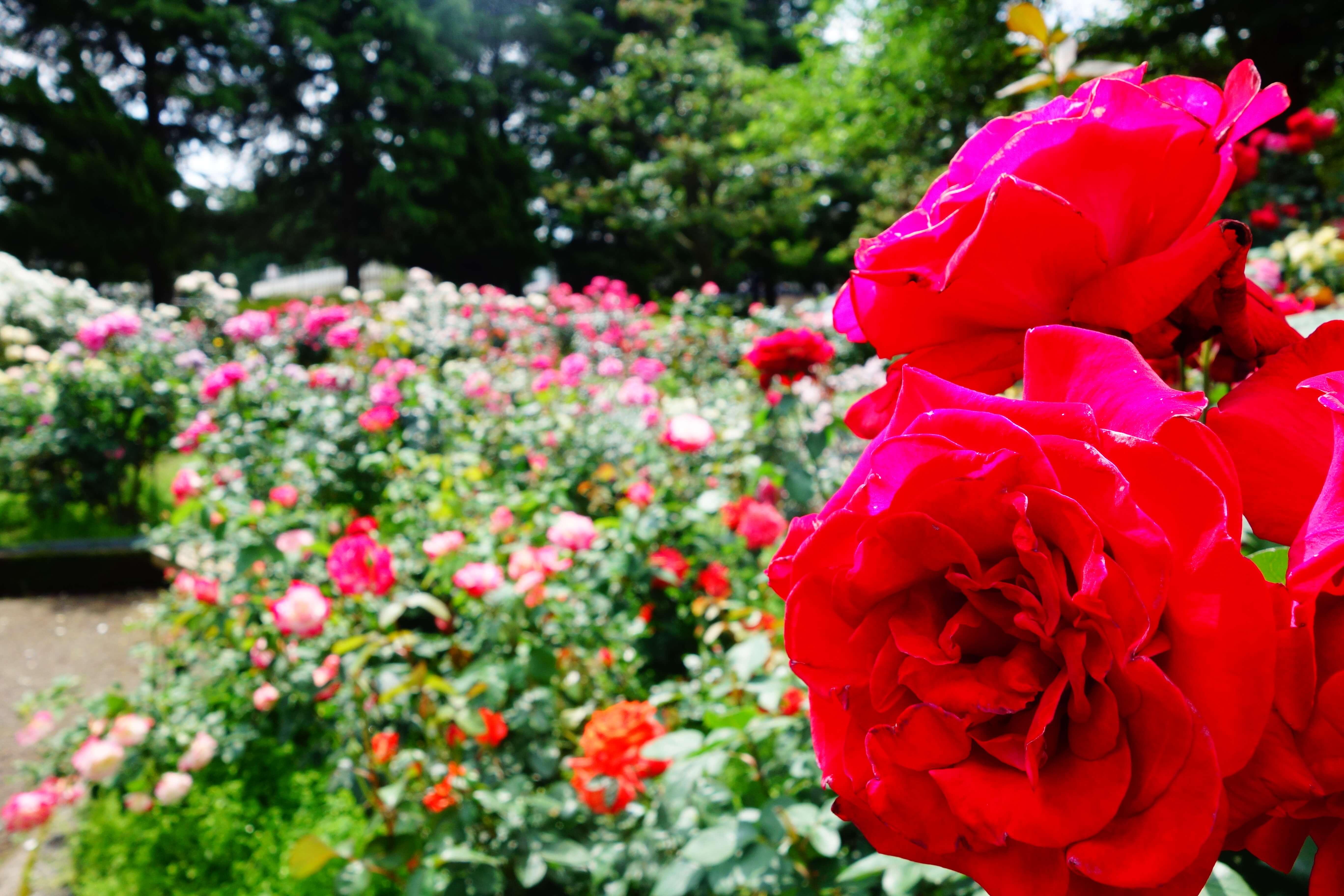 金沢南総合運動公園|石川県金沢市でバラを無料で観られる富樫のバラ園がオススメ