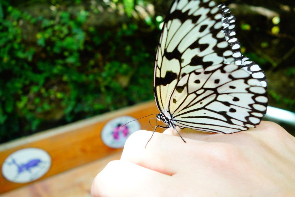 石川県ふれあい昆虫館チョウ