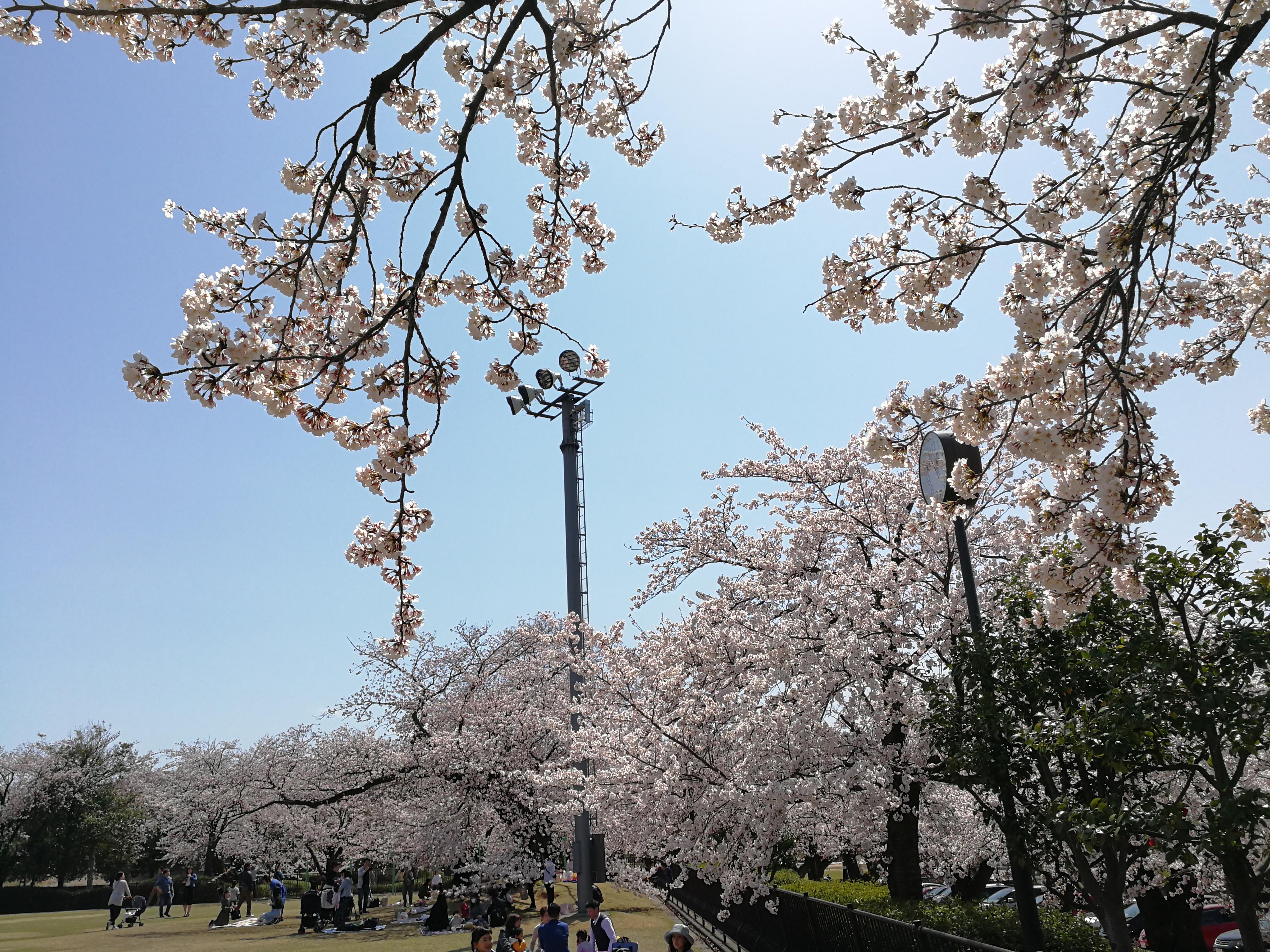 石川県の桜情報|金沢市営陸上競技場で隠れたお花見スポット!桜100本が乱れ咲く