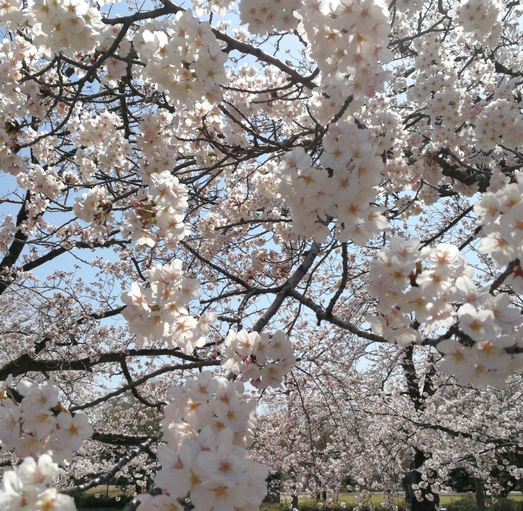 金沢市営陸上競技場の桜