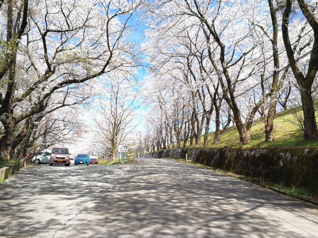 アーチ状の桜