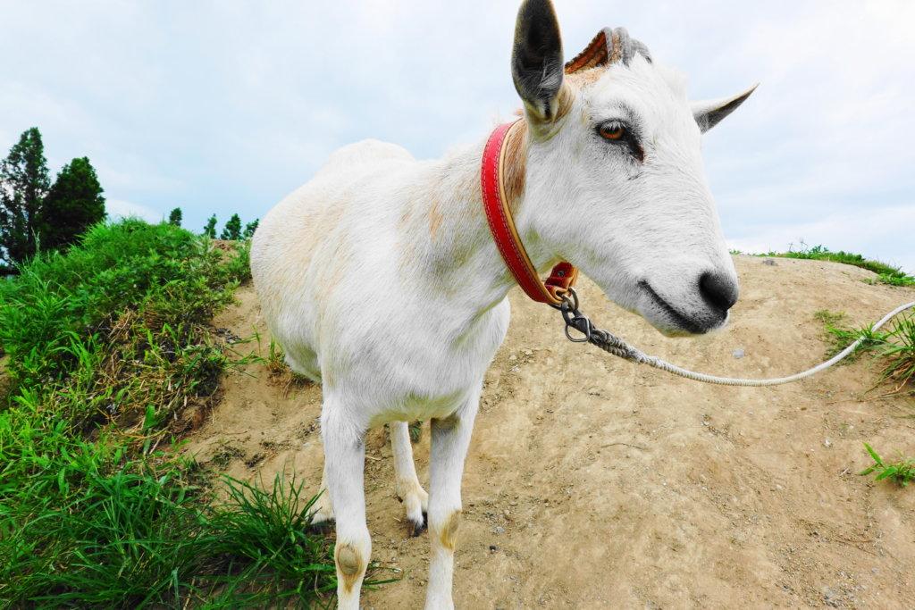 ホリ牧場のヤギ
